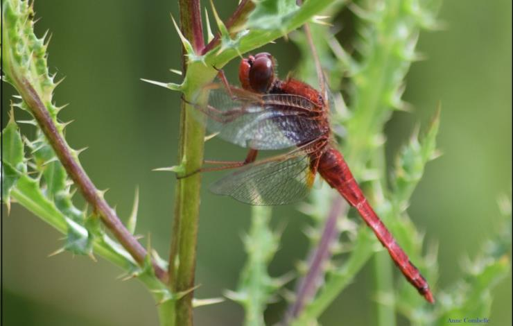 Sympetrum-rouge-sang-1800x1200-2-2