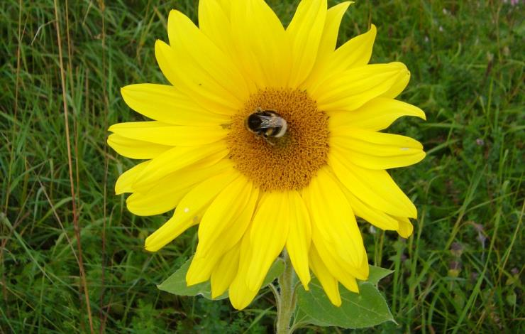 Tournesol au bourdon