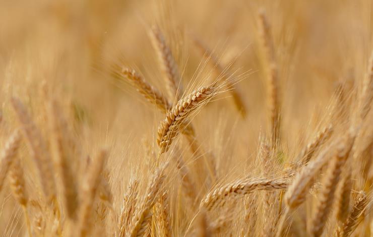 wheat-3241114-960-720